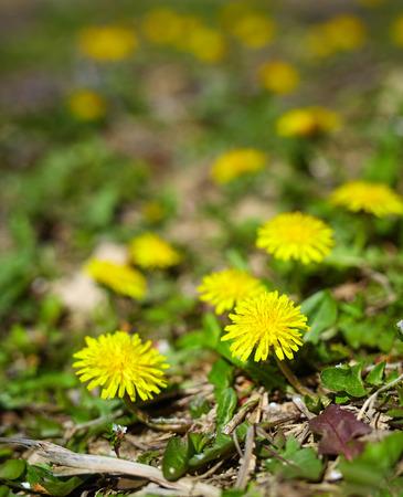 dandelion field: Closeup of a yellow dandelion field on springtime