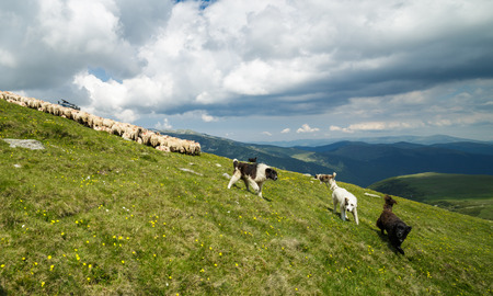 sheepfold: Aggressive dogs protecting the flock of sheep on the mountain