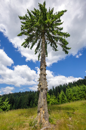 secular: A lonely secular fir tree against the sky, near the forest Stock Photo