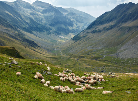 rock wool: Landscape with a flock of sheep on the mountain