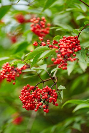 sorbus aucuparia: Closeup of red Rowan tree berries (Sorbus Aucuparia) Stock Photo