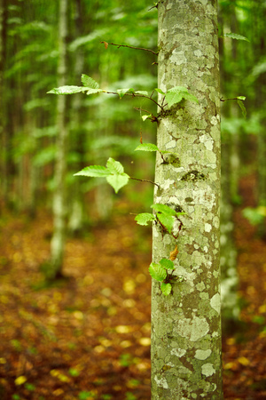 hornbeam: Young hornbeam forest in a sunny day with selective focus