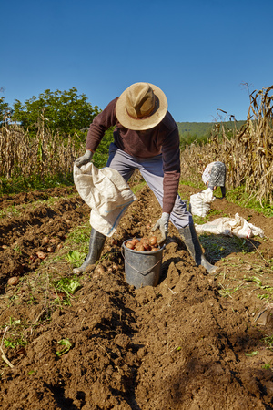 dirty man: Young farmer harvesting potatoes at countryside