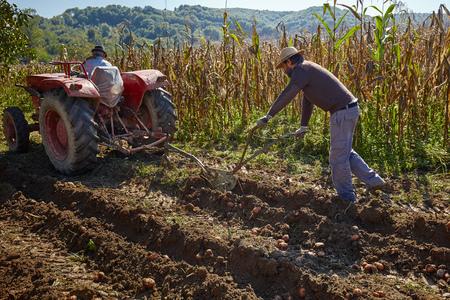 campesino: Familia de patatas de cosecha campesina con un tractor y arado