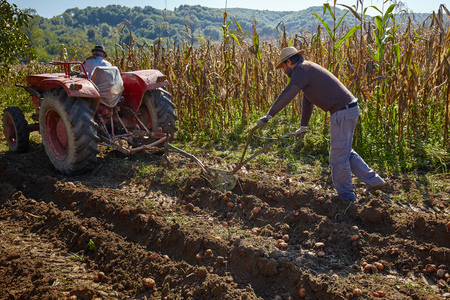 plough: Family of peasant harvesting potatoes with a tractor and plough Stock Photo