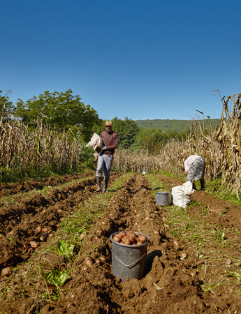 young farmer: Young farmer harvesting potatoes at countryside