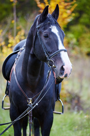 steed: Closeup of a beautiful black horse with saddle standing in the forest