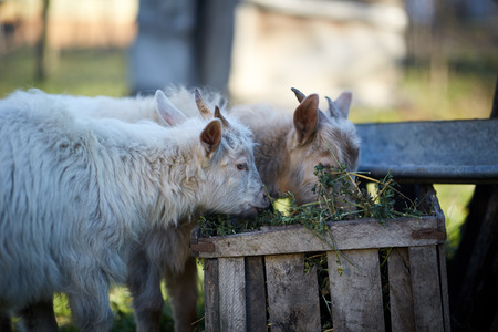 fidgety: Two baby goats eating hay from a wooden box Stock Photo