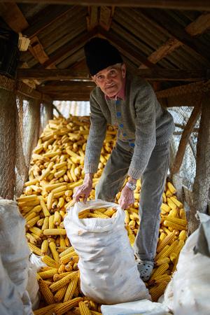 80 years: 80 years old farmer in his barn full of corn cobs