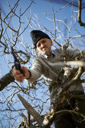 trimming: Old farmer trimming the trees with a scissor, traditionally Stock Photo