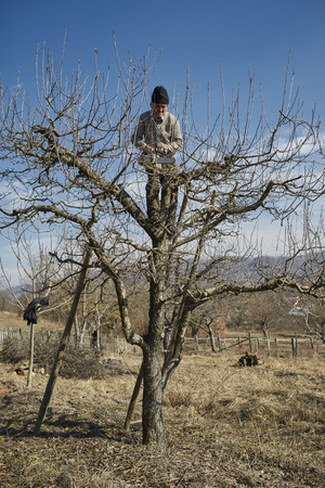 climbed: Senior farmer climbed in an apple tree, trimming the branches