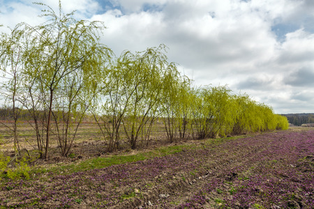willows: A row of willows in a field of purple flowers