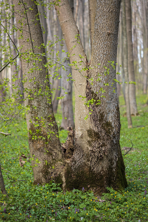 hornbeam: Landscape with a beautiful hornbeam forest in the spring