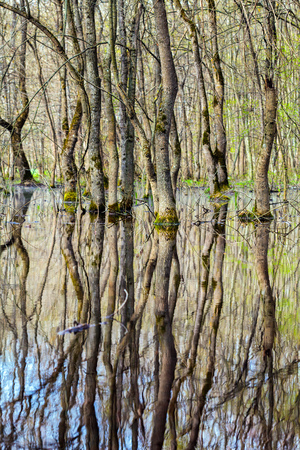 marshes: Landscape with a forest of hornbeam trees in marshes with reflection on water