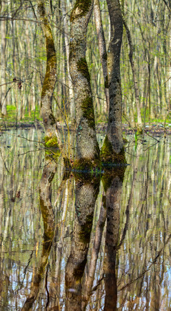 hornbeam: Landscape with a forest of hornbeam trees in marshes with reflection on water