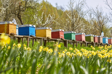 A row of bee hives in a field of flowers with an orchard behind 스톡 콘텐츠