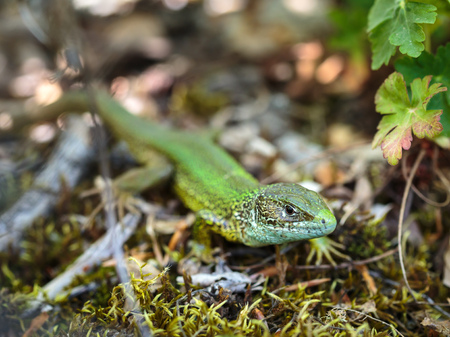 lacerta: Closeup of a small green lizard on forest ground Stock Photo