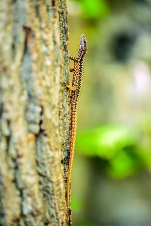lacerta viridis: Closeup of a small colorful lizard climbing a tree Stock Photo