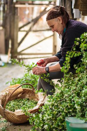 Vieille femme cueillir des fleurs pour faire infusion aubépine
