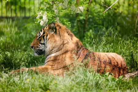tigresa: Retrato de un tigre de Bengala en un zoo, relajamiento