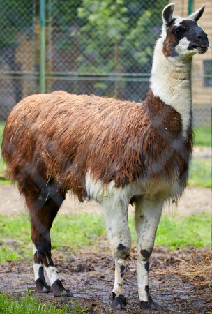 domesticated: Portrait of a brown domesticated lama in its pen Stock Photo