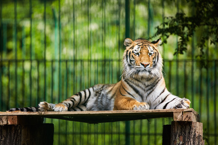 bengal tiger: Portrait of a Bengal tiger in a zoo, chilling out
