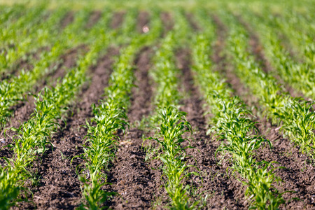 corn rows: Landscape with rows of young corn in a field