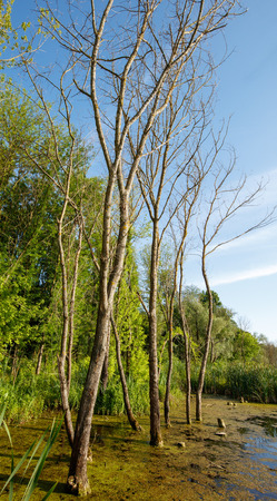 excelsior: European ash trees in a swamp near the forest Stock Photo