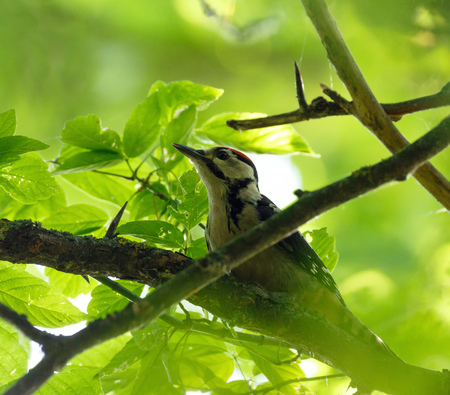 thrust: Middle Spotted Woodpecker (Dendrocopos medius) perched on a tree branch among leaves