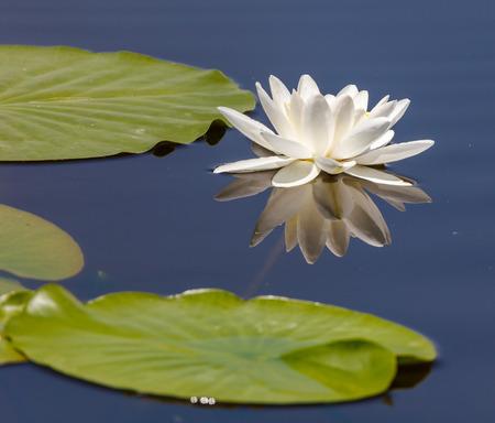 nymphaea: White water lily (Nymphaea Alba) on a lake Stock Photo