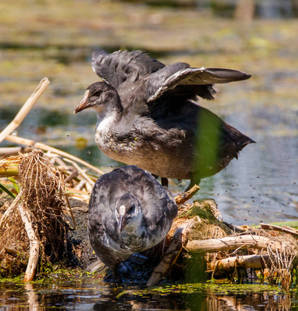 water fowl: Baby chicks of moorhen (gallinula chloropus) known also as water fowl