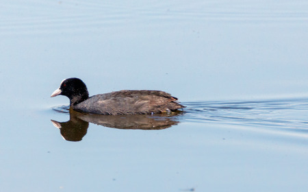 fulica: Eurasian coot (Fulica Atra) on water, swimming