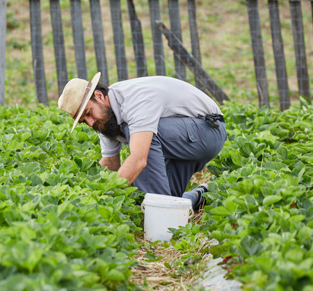 young farmer: Young farmer picking strawberries in a field