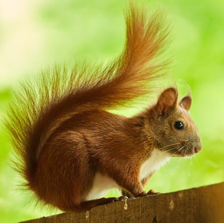 walnut tree: Portrait on a cute orange squirrel in a walnut tree Stock Photo