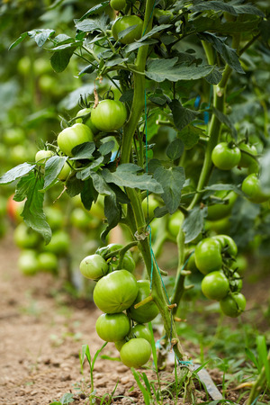 ripening: Ripening tomatoes on vines in a greenhouse