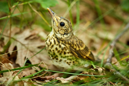 bird song: Baby song thrush bird (Turdus Philomelos) on the forest floor