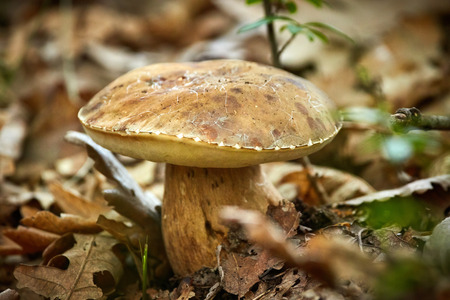 reticulatus: Summer cep (Boletus Reticulatus), edible mushroom in the forest Stock Photo