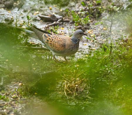 turtle dove: European turtle dove on the ground, eating seeds
