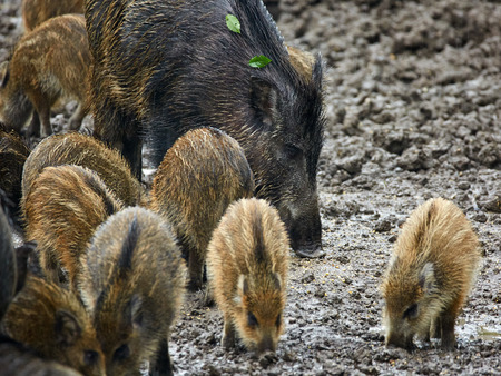 omnivores: Wild hog females and piglets feeding in the mud