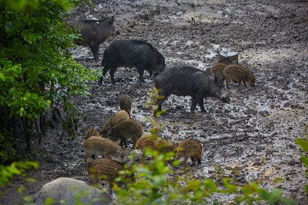 hog: Wild hog females and piglets feeding in the mud