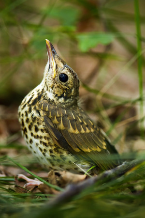 song bird: Baby song thrush bird (Turdus Philomelos) on the forest floor