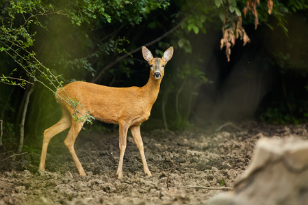 white tail deer: White tail deer near the forest, looking at the camera Stock Photo
