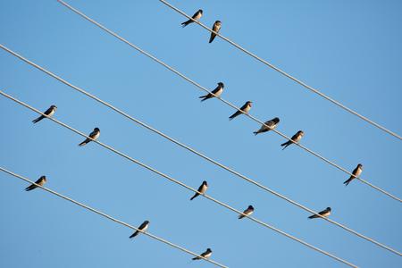 tragos: Muchos golondrina común posados ??en los cables telefónicos