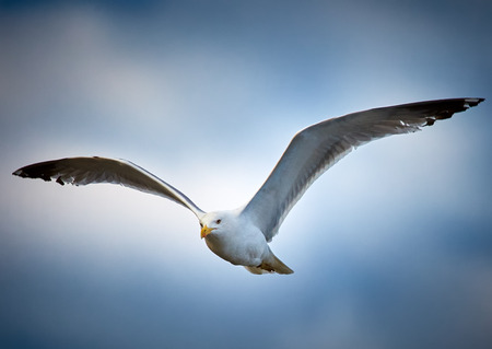 larus: Seagull in flight over blue sky with clouds