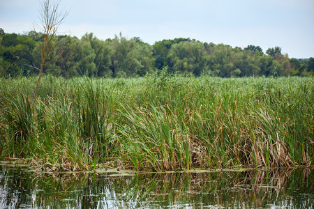 reed stem: Landscape with reeds and lake in the evening Stock Photo