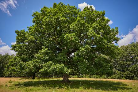 Enorme honderdjarige eik voor het bos