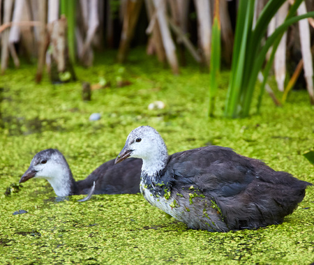 crested duck: Juvenile eurasian coot (Fulica Atra) on water