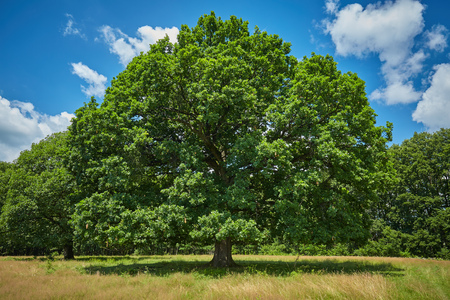 huge tree: Huge centennial oak tree in front of the forest