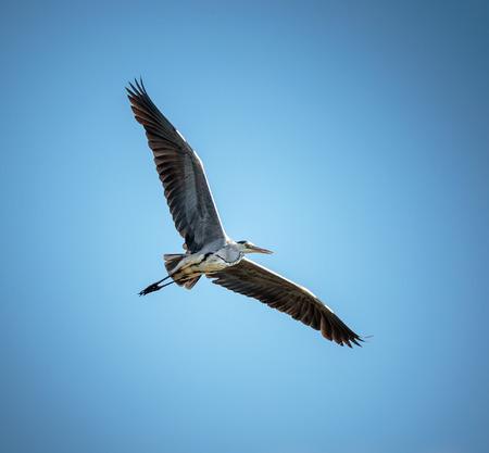 gray herons: A large grey heron (ardea cinerea) gliding against blue sky Stock Photo