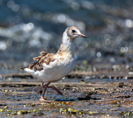 juvenile: Juvenile seagull on a lake searching for food Stock Photo